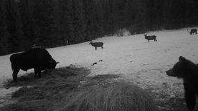 """Niedźwiedź, żubr i trzy jelenie. Leśne """"spotkanie na szczycie"""""""