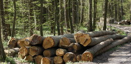 W lasach wielki wyrąb. Rząd chce pieniędzy