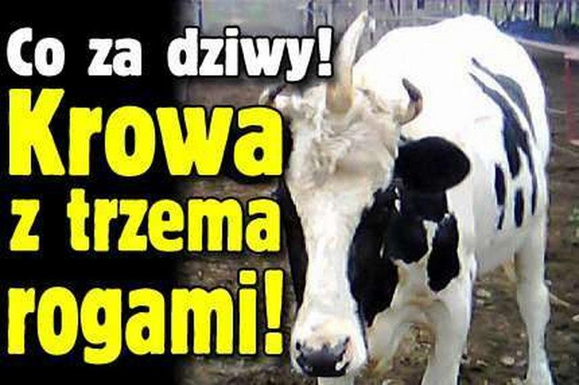 Co za dziwy! Krowa z trzema rogami