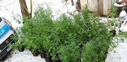 Zatrzymany plantator marihuany