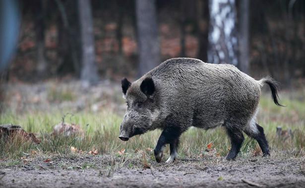 O plany polskiego rządu dotyczące odstrzału dzików jako sposobu na walkę z afrykańskim pomorem świń PAP pytała Komisję Europejską na konferencji prasowej.