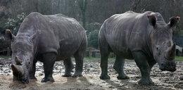 Barbarzyński mord w zoo. Nosorożec ofiarą kłusowników