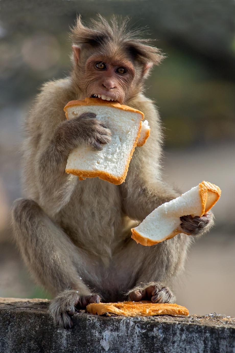 Mono come pan robado de una tienda cercana en India