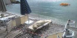 Ludzie kąpią sięjak morsy, a uchatka plażuje jak człowiek