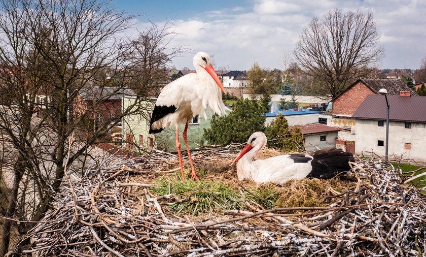 W Katowicach Zarzeczu przy ul. Grota Roweckiego zostało ostatnie gniazdo bocianie. Para już uwiła gniazdko. Samica wysiaduje dwa jajka