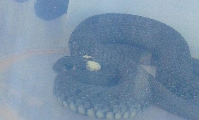 Straż miejska w Katowicach szukała węża