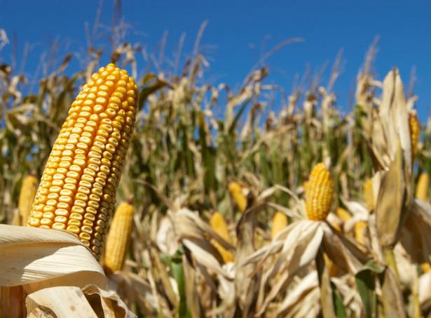 W projekcie pozostał natomiast przepis gwarantujący ochronę rolnikom uprawiającym GMO przed wydaniem zakazu
