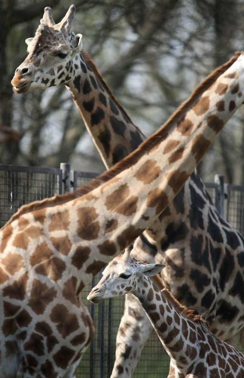 żyrafy,zoo, warszawski ogród zoologiczny