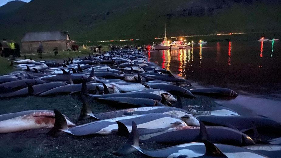 Tylko zeszłej nocy na Wyspach Owczych zabito ok. 1500 deflinów / fot. Sea Shepherd Faroe Islands Campaign