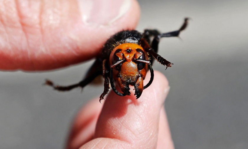 Szukają kolonii morderczych owadów z Azji. Przyrodnicy w trwodze