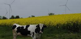 Przez te wiatraki krowy nie dają mleka