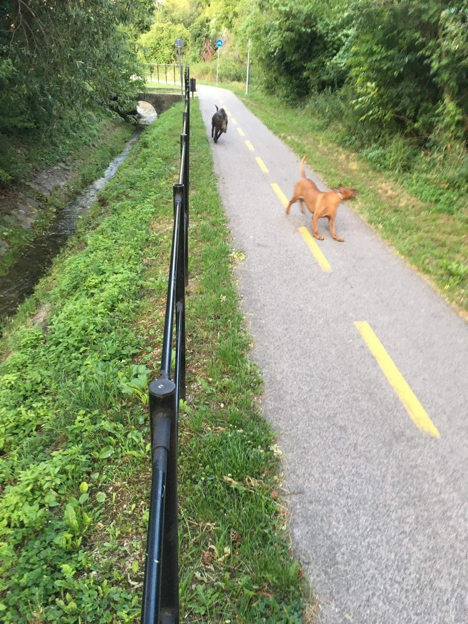 Kutyát kergetett a vaddisznó.
