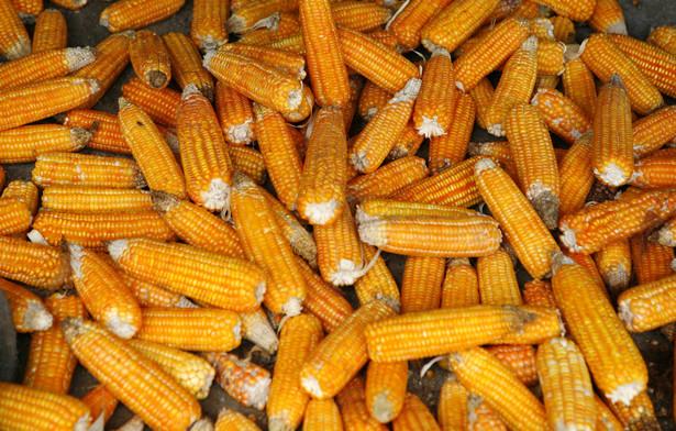 Najbardziej rosną ceny kukurydzy
