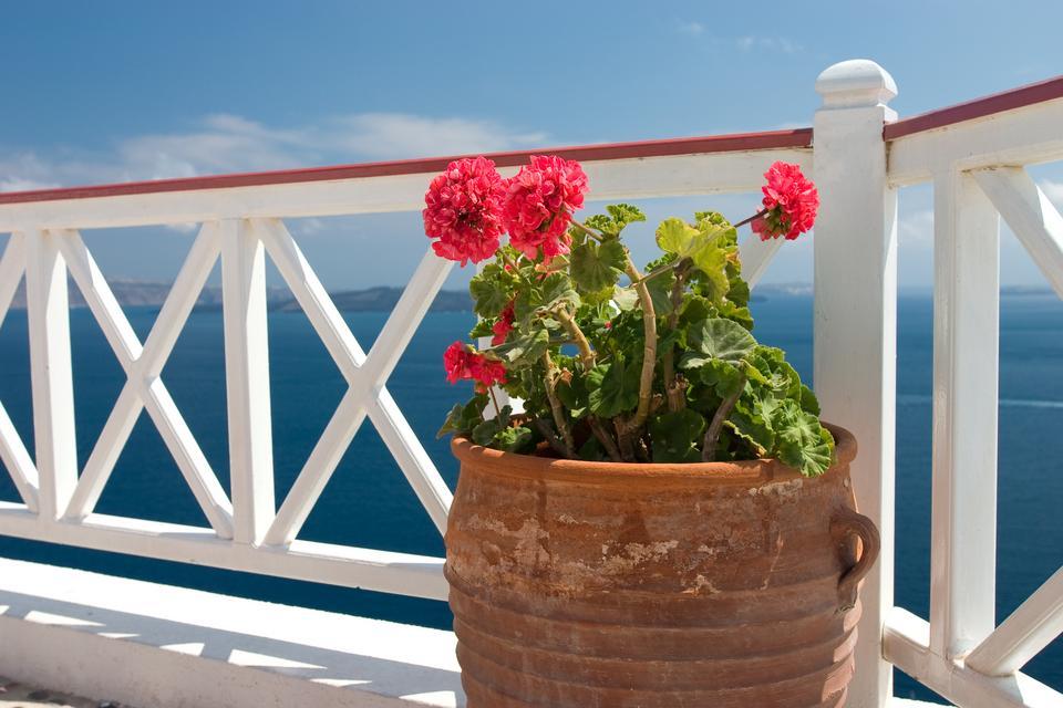 Pelargonie pochodzą z cieplejszego, afrykańskiego  klimatu – lubią więc rosnąć w słońcu, najpiękniej kwitną na wystawie południowej.