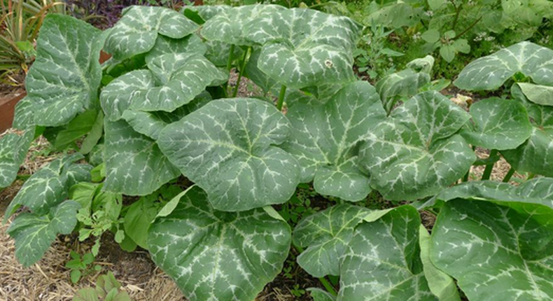 Pumpkin leaf: The health benefits of this plant are unbelievable [Healthy Advice]