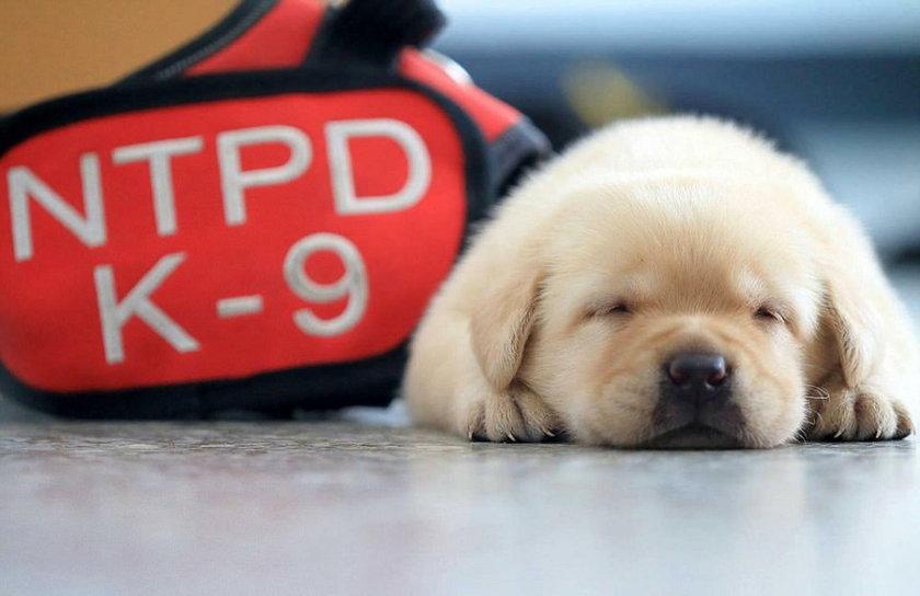 Najsłodszy pies policyjny na świecie