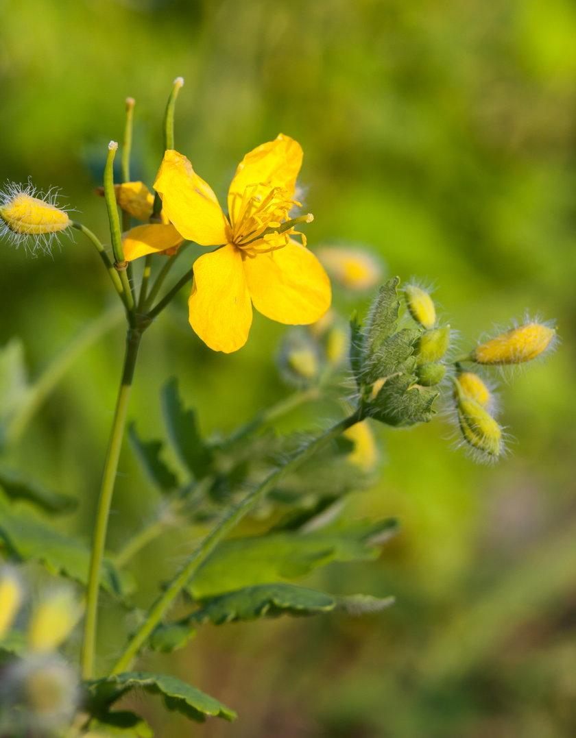 Glistnik jaskółcze ziele (łac. Chelidonium maius) na kurzajki