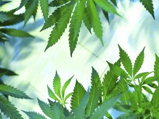 TSUE: Oznaczenie przywołujące marihuanę nie może zostać zarejestrowane jako unijny znak towarowy