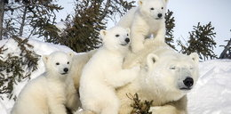 Polarne misie czekają na święta
