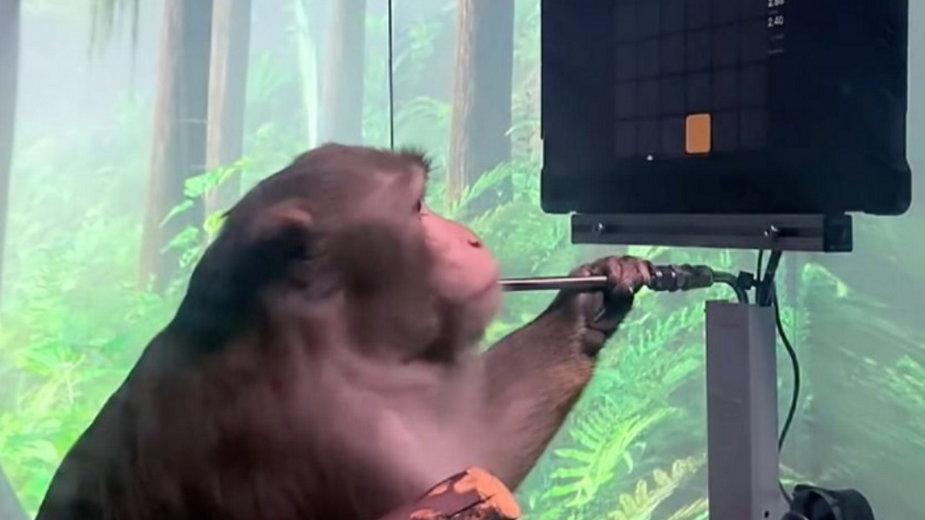 Małpa z implantem w głowie gra w grę wideo za pomocą myśli