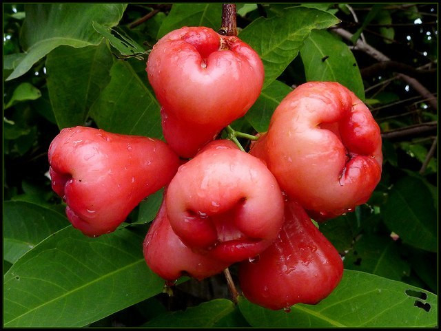 Real names of popular Nigerian fruits- Rose Apple