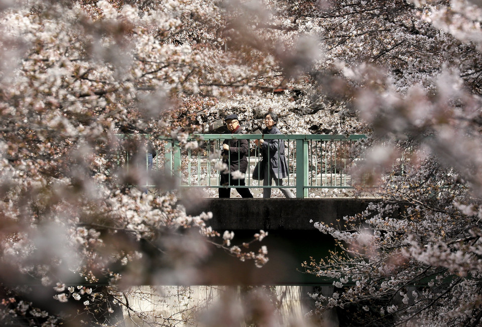 epa06623190 - JAPAN CHERRY BLOSSOMS (Cherry blossoms bloom in Tokyo)