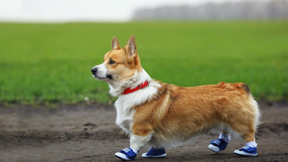 Buty lub skarpetki dla psa zabezpieczają jego łapy podczas spaceru - nataba/stock.adobe.com