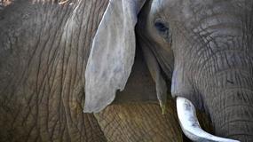 32 kraje Afryki wystąpiły do UE o wydanie zakazu handlu kością słoniową