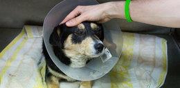 Obciął psu ogon, zaszył mu oczy!