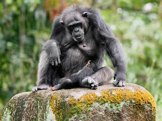 Portrait of a chimpanzee and child