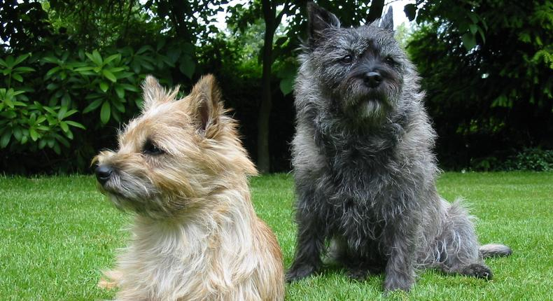 Terrier breed dogs (Courtesy)
