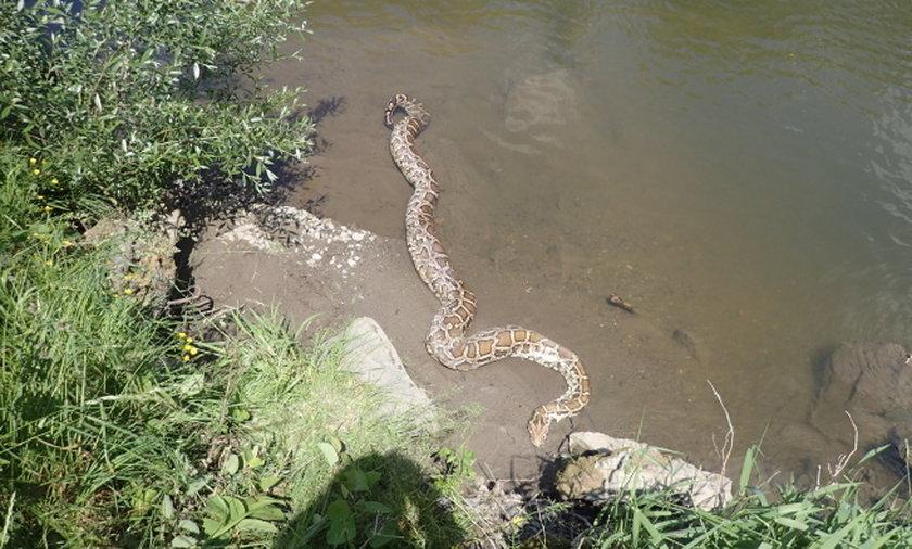 Pyton w rzece Olzie