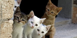 Znieczulica znanych firm! Obdzierają koty ze skóry! Na czapki!