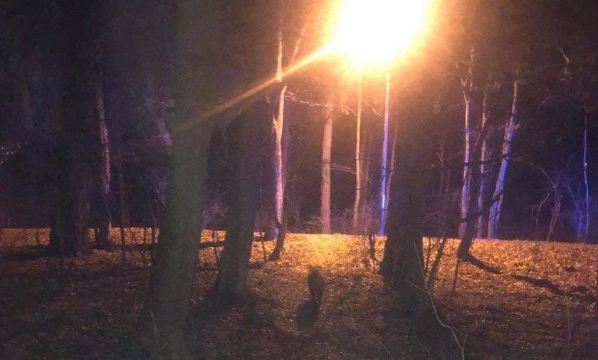 Dzik zaatakował kobiety spacerujące w lesie.