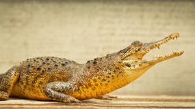 Naukowcy prześwietlili mumię krokodyla. Trudno uwierzyć, co było w środku