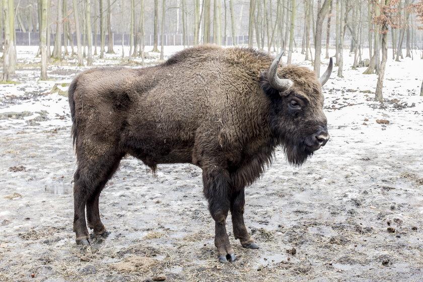 Mazurskie Nadleśnictwo Borki chce odstrzelić część żubrów z tamtych terenów