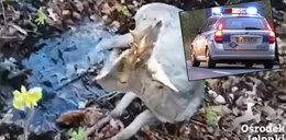 Skandaliczne zachowanie policjantów z Elbląga! Tak potraktowali ranną sarnę