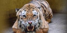 Tygrysy wracają do zdrowia