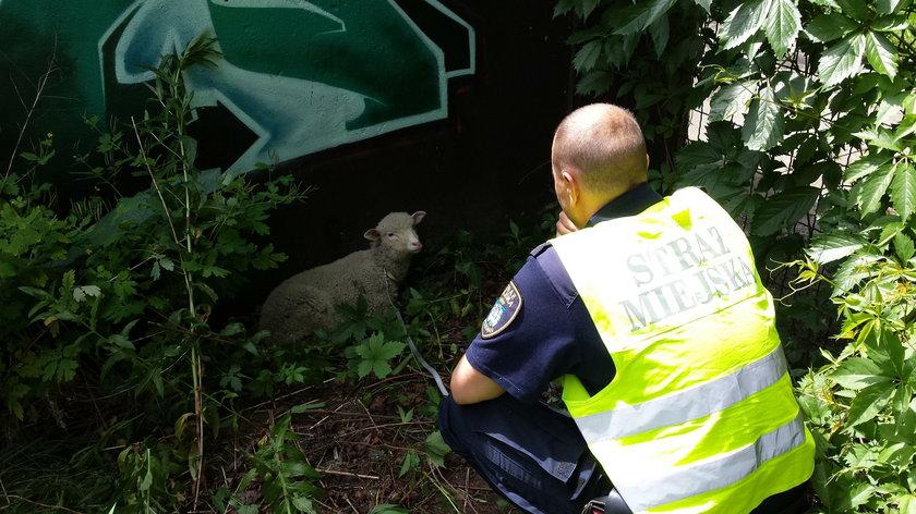 Uczniowie i strażnicy uratowali owieczkę