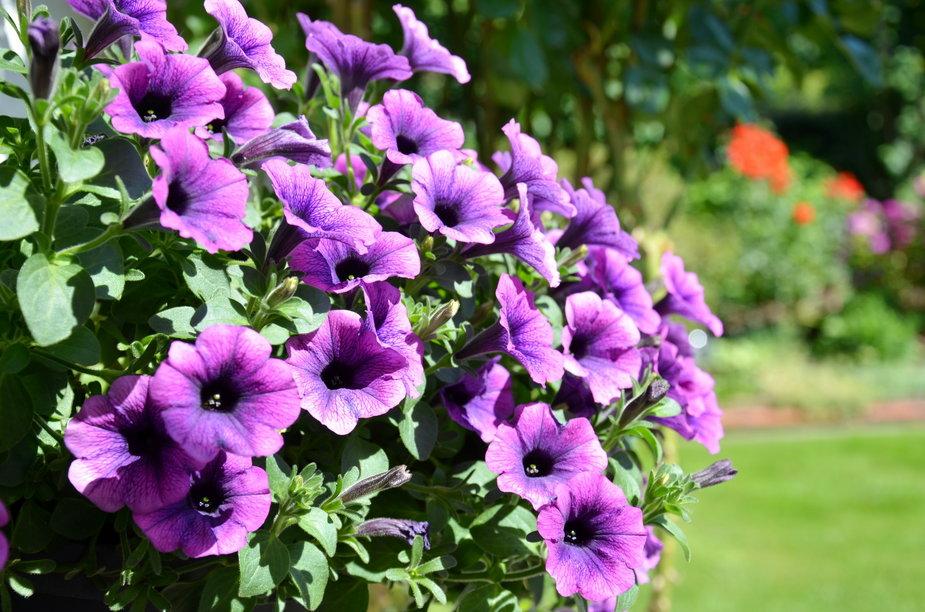 Surfinie pięknie prezentują się na balkonie - PB-Photography/stock.adobe.com