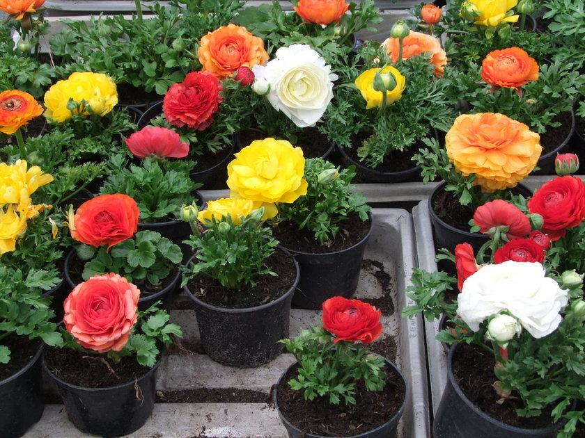 Kwiaty będzie można zobaczyć na targach
