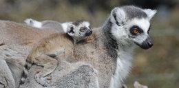 Urodzaj na lemury! Sześć maluchów urodziło się w zoo