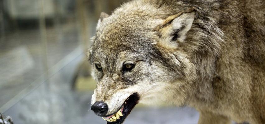 Bądźcie ostrożni. W lubelskich lasach wilk zaatakował grzybiarza