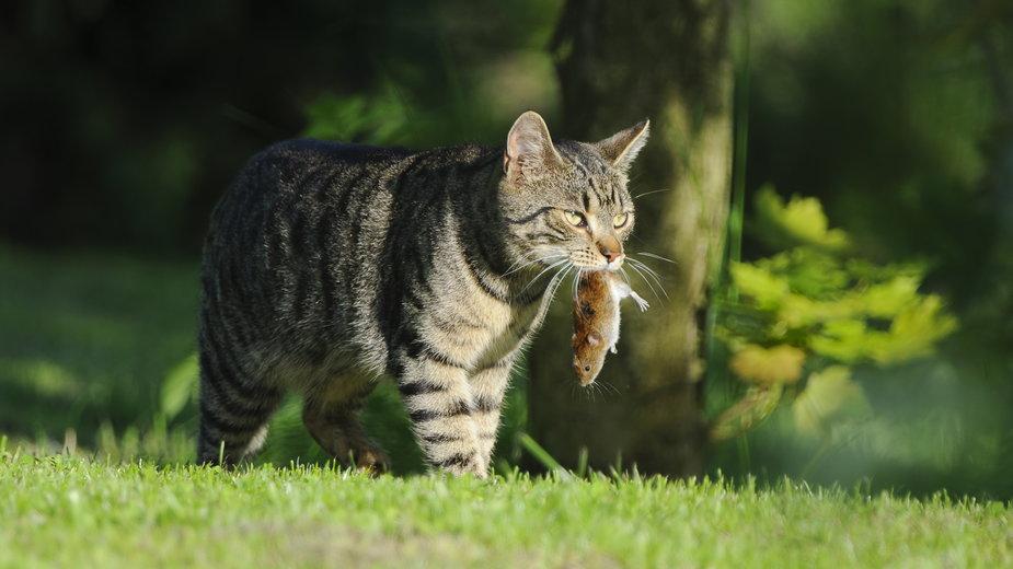 Kot z upolowaną myszą - Romuald/stock.adobe.com