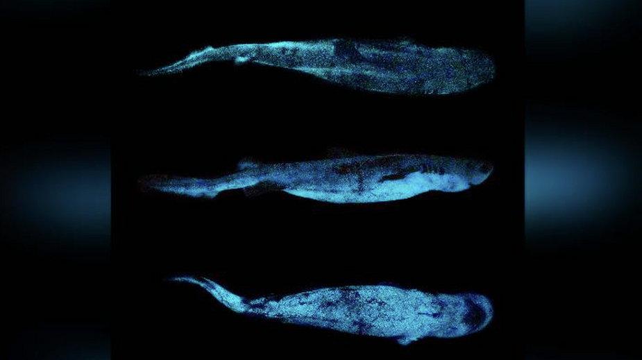Ogromne rekiny osiągają długość do 1,8 metra