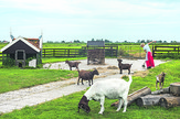 stock-photo-zaandam-holland-july-waterland-district-goats-and-a-lady-working-in-a-factory-368972327