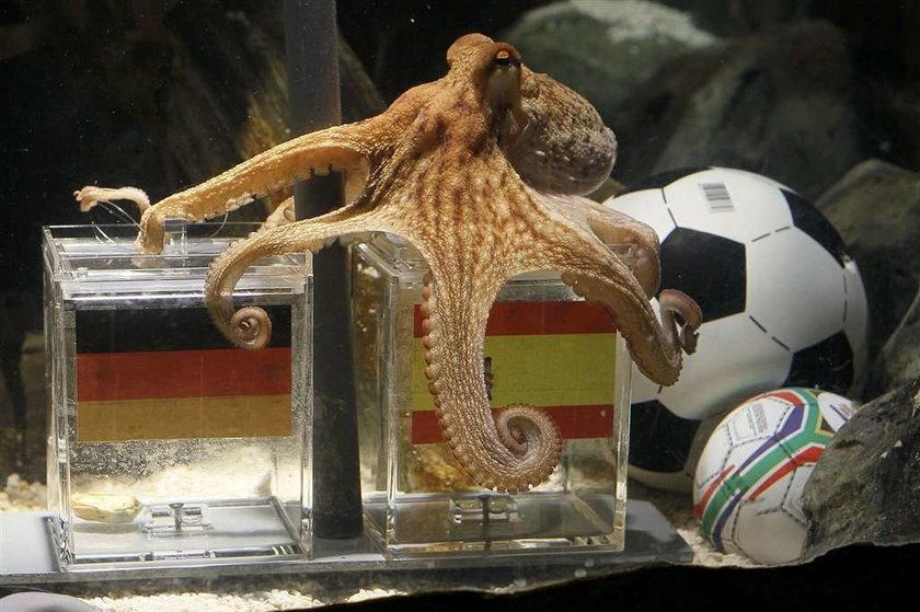 Niemcy zjedzą sławną ośmiornicę?