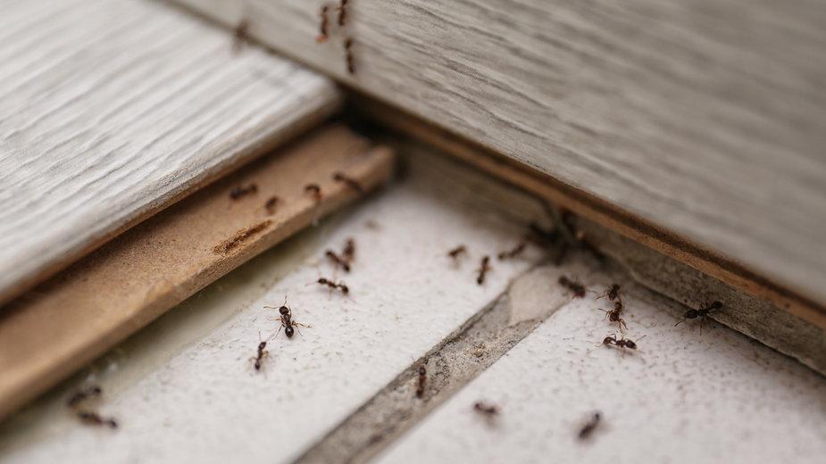Mrówki można odstraszyć domowymi preparatami - New Africa/stock.adobe.com