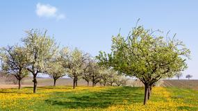 Kiedy należy przycinać drzewa owocowe?