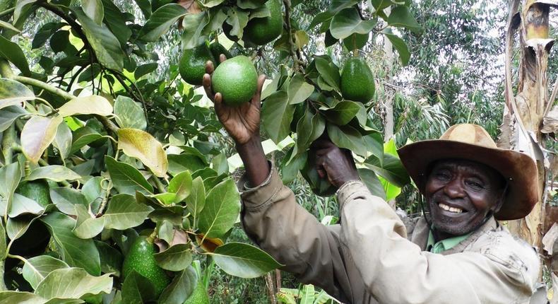 A Kenyan small-scale avocado farmer. (Farmbiz Africa)